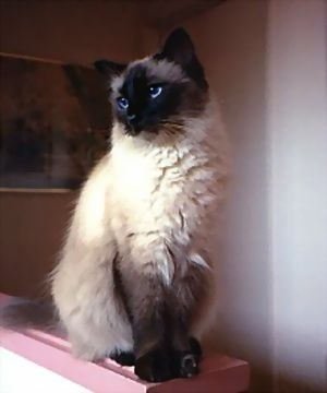 Balinese Cat - the characteristics of 'old fashioned siamese, with long hair'  the coat is single so not as high maintenance as a persian or maine coone, but if you don't comb it at least alternate days you will have lots of fur everywhere!