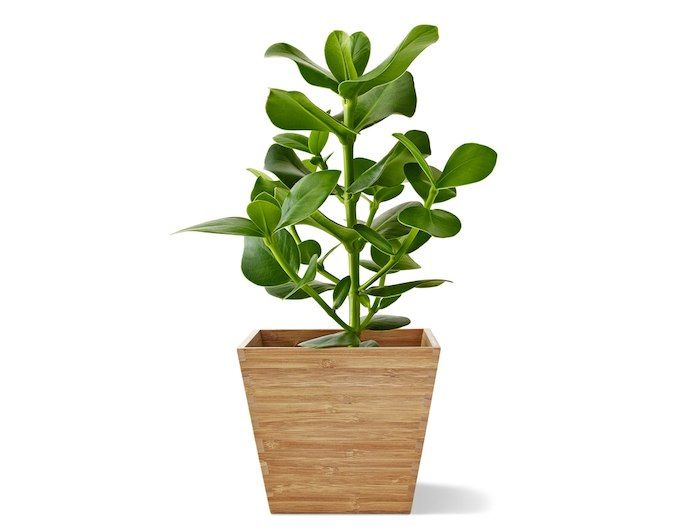 plante verte dans un cache pot en bambou ikea ikea. Black Bedroom Furniture Sets. Home Design Ideas