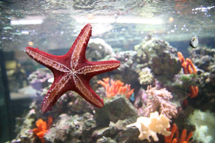 #pesci #acquario #stella #stellamarina #red #fish #fishtank #star #seastar