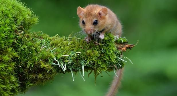 The adorable Hazel dormouse. It's rare in Sweden and even rarer is getting to see one.