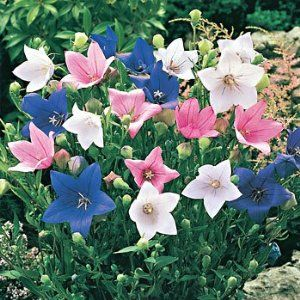 40+ Platycodon Balloon Flower Perennial Flower Seeds Mix (Blue, Pink & White) by CHERYL'S UNIQUE FLOWER SEEDS. $3.89. FULL SUN OR PARTIAL SHADE. 18 inches tall. EASY TO GROW FROM SEED. THIS YEAR'S FRESH SEEDS. ZONES 3 - 9. Low maintenance, sun loving perennial that has large star-shped flowers. A hardy perennial that can withstand periods of drought. Rarely bothered by disease or insects.Children love to watch the balloons form (the buds), then grow to the righ...