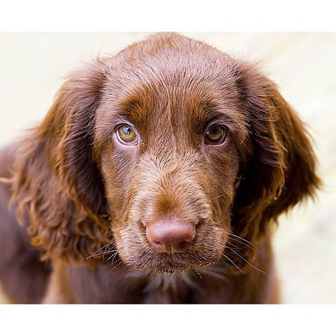The Field Spaniel resembles the Cocker Spaniel, but is longer and a bit larger. The distinctive glossy coat is either black or some shade of liver, or combinations of the two. They stand 17 or 18 inches at the shoulder and should present the picture of well-balanced, moderately proportioned hunting companions. The long, feathery ears frame a facial expression conveying a gentle intelligence. Field Spaniel movement appears effortless, with a majestic stride characteristic of the breed.