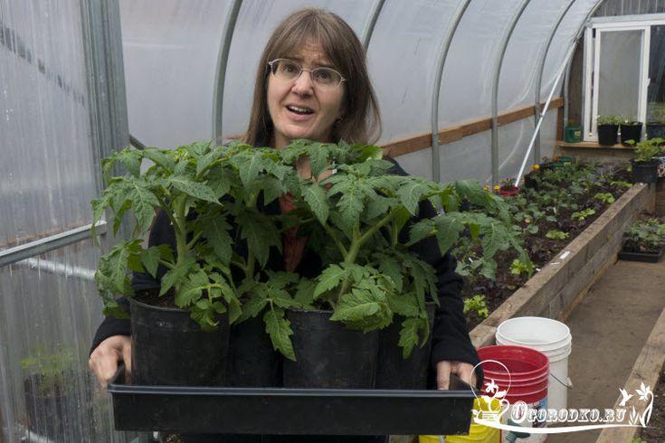 Выращивание рассады помидоров из семян, без пикировки или с пикировкой, как правильно вырастить и чем подкормить, полезные советы читать...