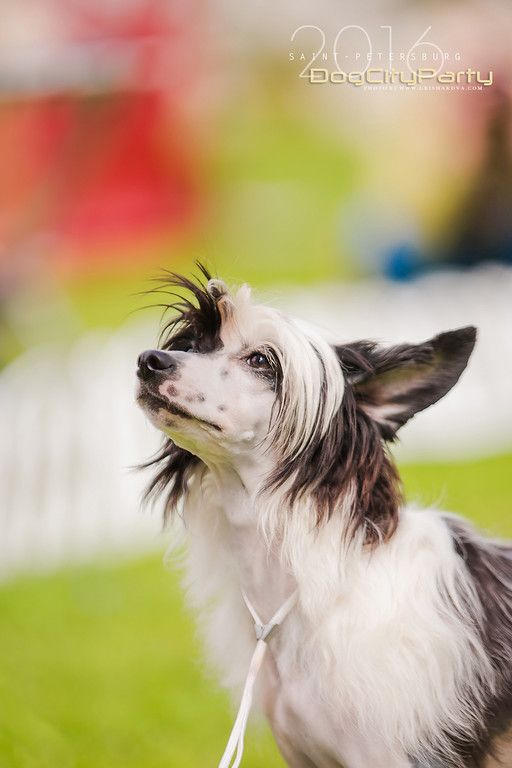 Chinese Crested. By Kate Grishakova.