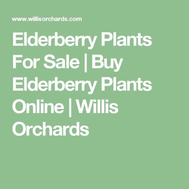 Elderberry Plants For Sale | Buy Elderberry Plants Online | Willis Orchards