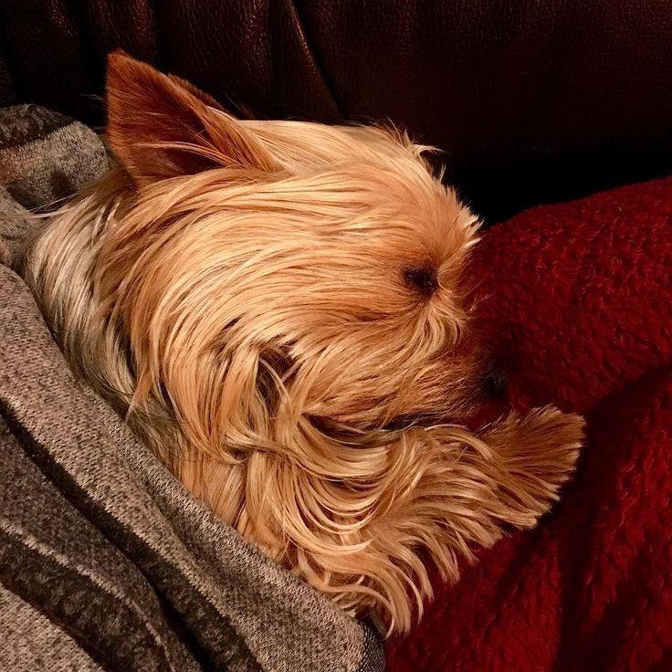She's so cute when sleeping. #yorkie #dog #cute #sleeping #yorkshireterrier
