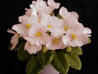 17 Best Images About Wonderful African Violets On