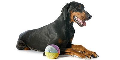 Doberman Pinschers are one of the most popular dog breeds in the world. If you decide to get one, we have many awesome Doberman names to pick from.