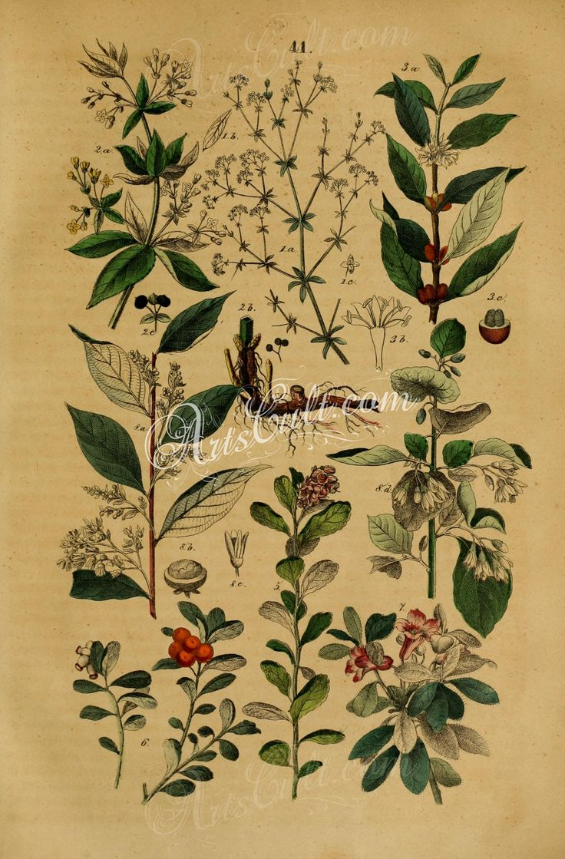 41-gallum palustre, rubia tinctorum, coffea arabica, vaccinium vitis idaea, arbutus uva-ursi, rhododendron hirsutum, styrax benzoin, styrax officinale      ...