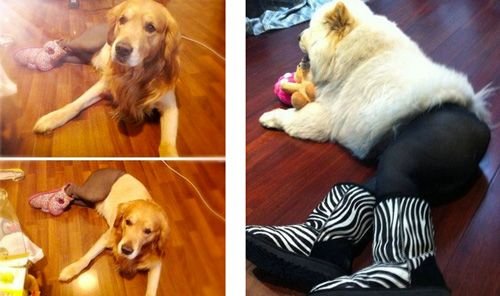 a bunch of pictures of dogs wearing pantyhose XD apparently a new meme thing in China