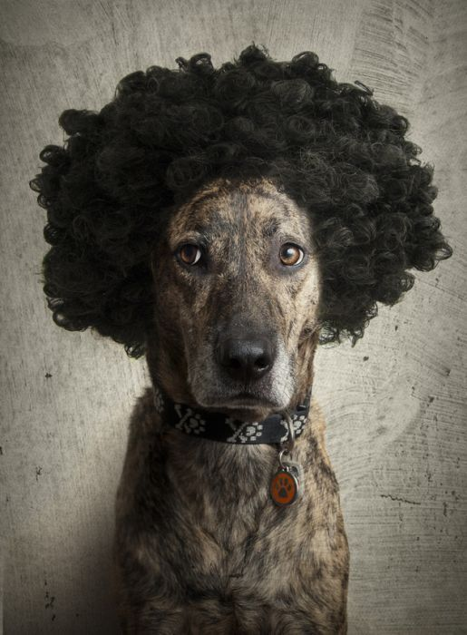 Funny: Dogs with wigs (17)