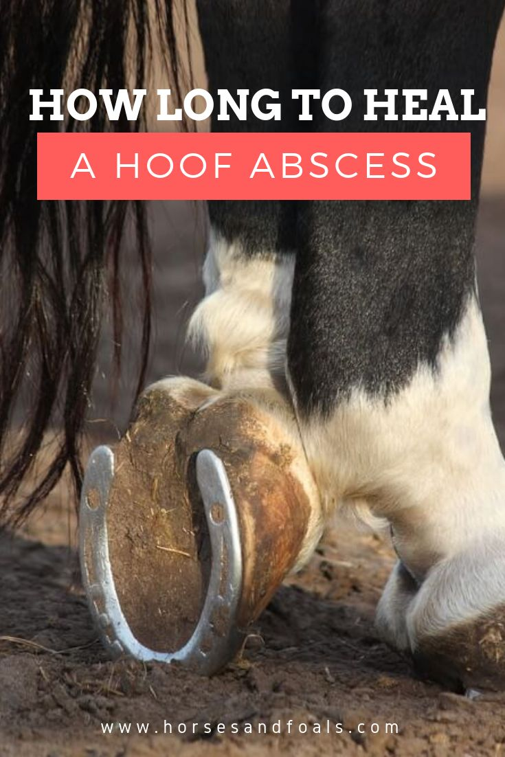 Hoof abscesses occur when bacteria gets into the hoof