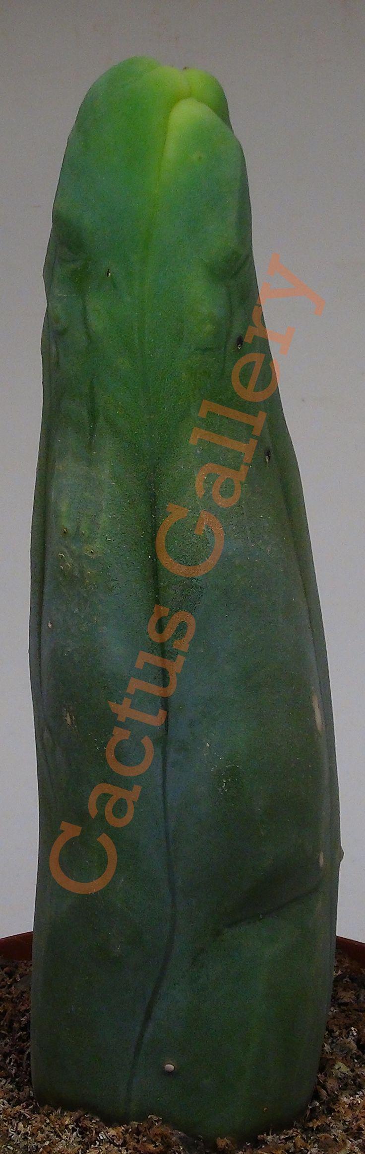 Trichocereus bridgesii mostruoso Cactus Gallery