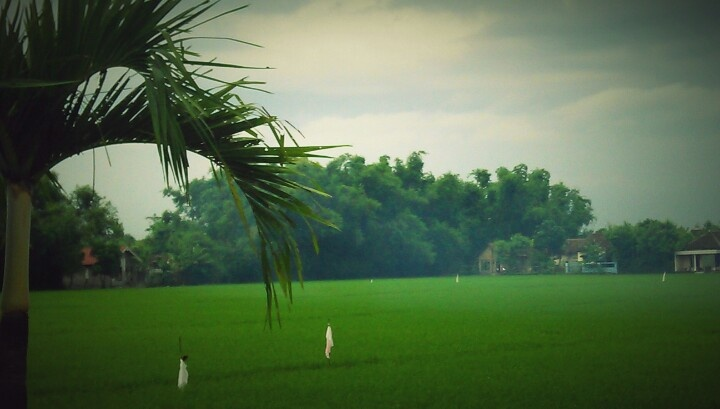 Green rice field, somewhr in east java