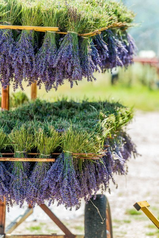 Lavender drying - lovely.