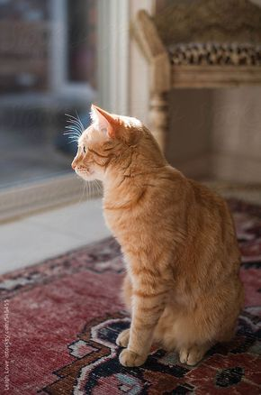 Profile view of a three legged cat looking out a window, sitting on a colorful oriental rug with a leopard print upholstered bench in the background.