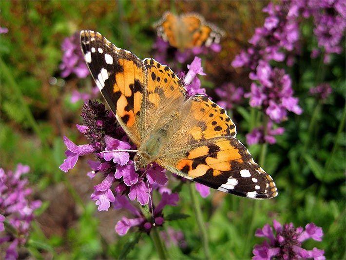Foto von einem Distelfalter auf einer Lavendel-Blüte