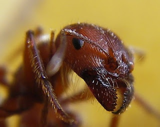 Get rid of ants in your home: Bugs Bites, Antssoci Insects, Red Harvest, Households Cleaners, Naturalhomemad Remedies, Kill Ants, Bugs Killers, Harvest Ants, Homesteads Survivalist