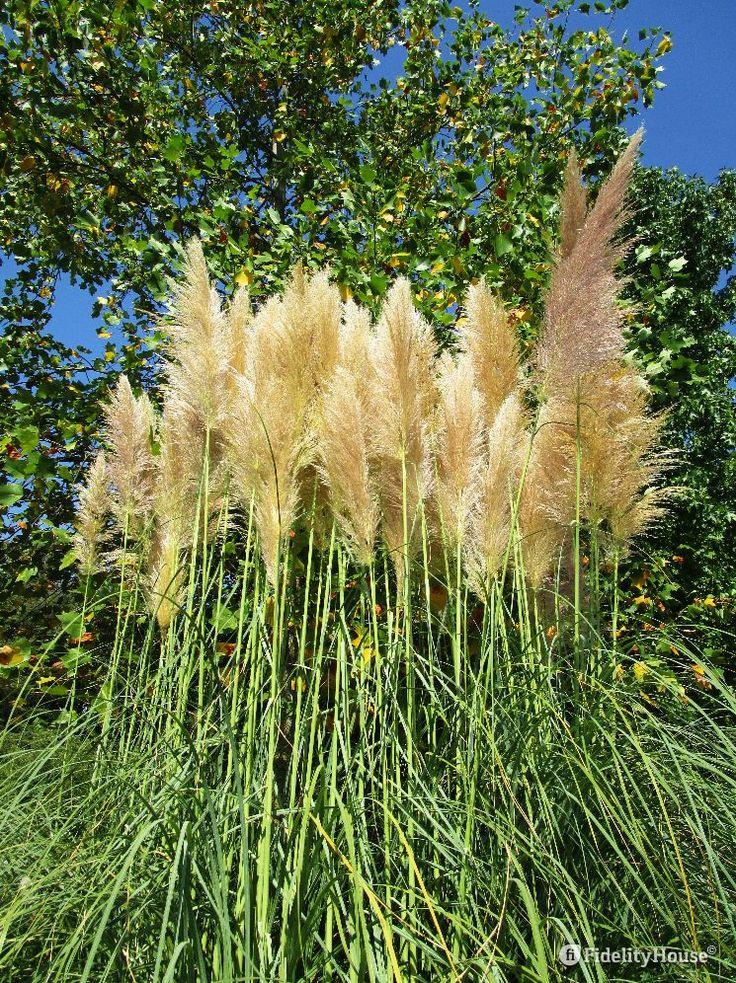 Una bella pianta ornamentale da giardino è l'Erba delle Pampas. Fa mostra delle…