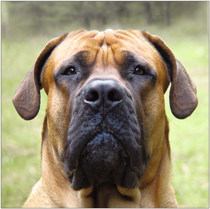 1000 images about boerboels on pinterest a well boys and puppys. Black Bedroom Furniture Sets. Home Design Ideas