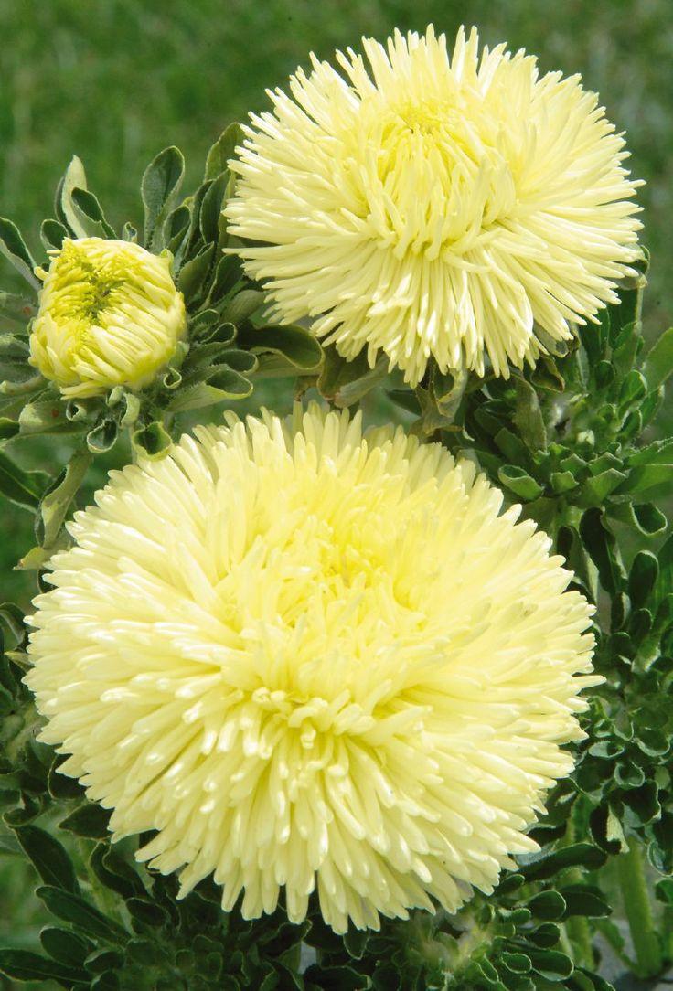 Callistephus chinensis 'gala yellow'