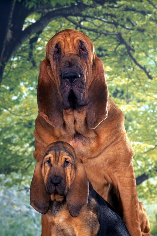 Free Bloodhound Puppies | Bloodhounds dogs free wallpaper in free pet category: Dog