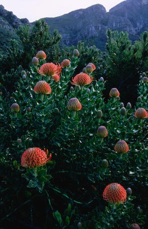 Protea in Kirstenbosch National Botanical Garden.