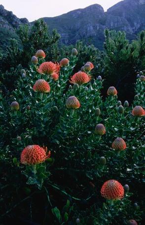 Protea in Kirstenbosch National Botanical Garden.