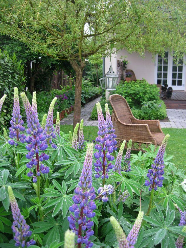 Lupines in a Danish garden