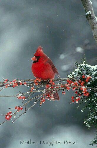 I wish Oregon had Cardinals. They are so beautiful!
