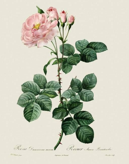 rosa damascena drawing - Google Search