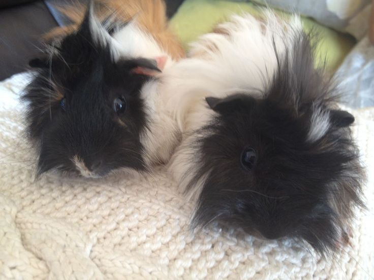 Long haired baby guinea pigs