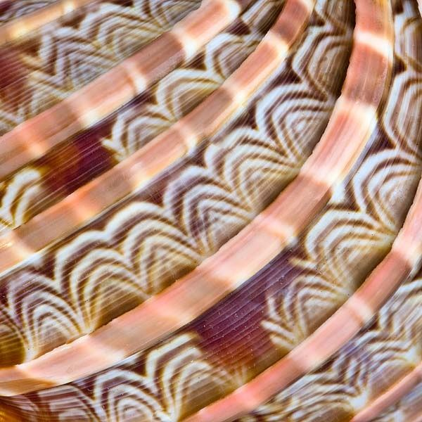 "Shell. / Coquillage. / ""Harpa major."" / Macro photo."