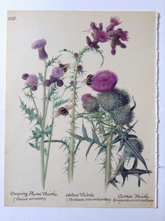 Thistles Vintage Botanical Book Page Country Diary Of An Botanical Drawings Flower Prints Art Watercolor Flower Prints