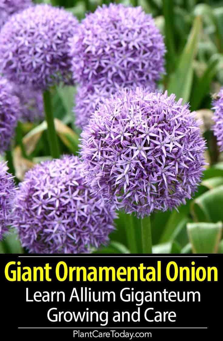 Growing Allium Giganteum Learn Giant Ornamental Onion Care Allium Giganteum Onion Flower Allium Flowers