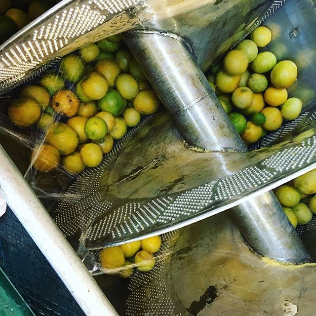 A peek inside the world of #begamot oil extraction. After the fruits are sorted and loaded onto conveyer belts, they are poured into these spinning peelers, where the gratings will mix with water to create an emulsion. Later, the pure bergamot essence will separate from the water, resulting in the precious oil. #HowItsMade #PerfumeOil #RawMaterials