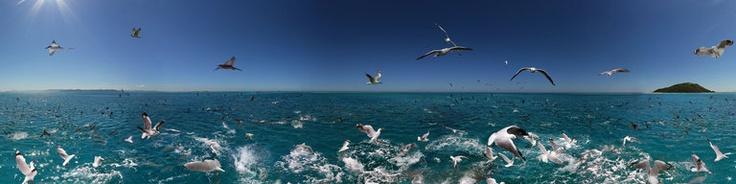 Bird Fish Feeding Frenzy New Caledonia