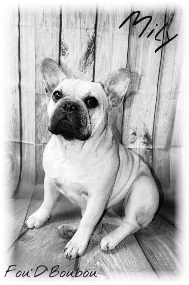 Mily, the French Bulldog  www.facebook.com/foudboubou/ elevage de bouledogue francais bulldog ariege france