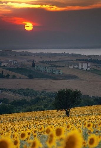 Sunset over sunflower field - Tuscany, Italy