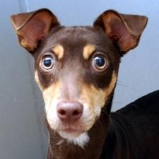 Chiquis is an adoptable Miniature Pinscher Dog in Des Moines, IA. Currently located at ARL Main Chiquis may be little, but she's all about living life to the fullest! She likes to play, walk, jog, lea...