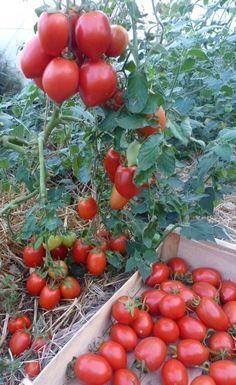 culture de tomate bio réussie grâce à la consoude                              …