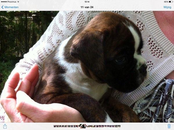 Ingezonden foto van Orly, een #Boxer #pup