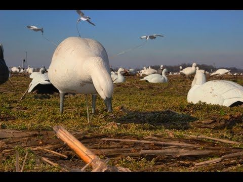 Part two on snow goose hunting.