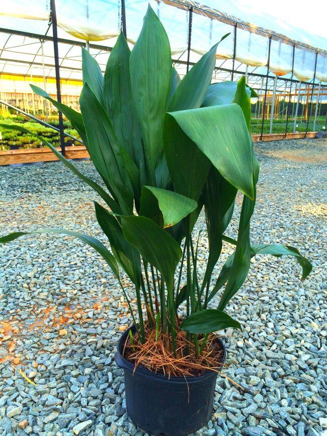 12houseplants that can survive even the darkest corner Aspidistra elatior 'Variegata'