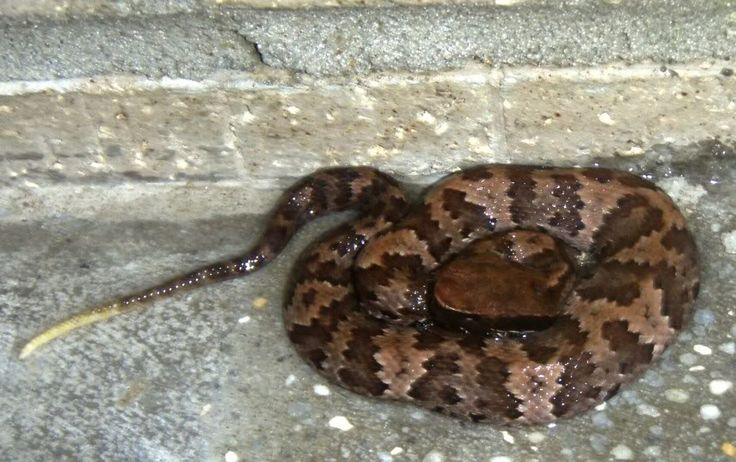61 best images about Snakes on Pinterest | Pit viper ...