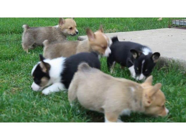 Corgi Puppies For Sale Melbourne Corgi Puppies For Sale Welsh
