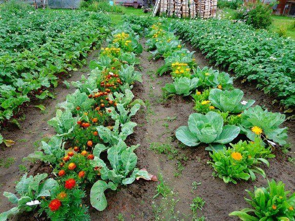 Овощи, которые стоит посадить рядом друг с другом1. Чудесное трио: кукуруза, горох и тыква. Секрет их совместного выращивания знали ещё американские индейцы. Кукуруза даст опору гороху, который насыща…