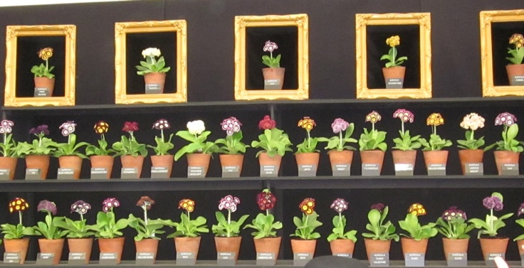 Auricula theatre at the Chelsea Flower Show
