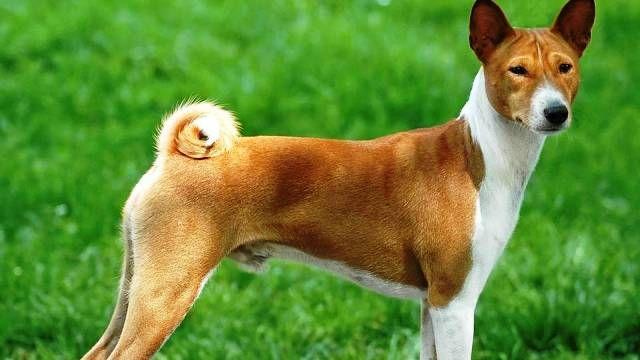As 25 raças mais perigosas de cachorro - IDEAGRID - Basenji