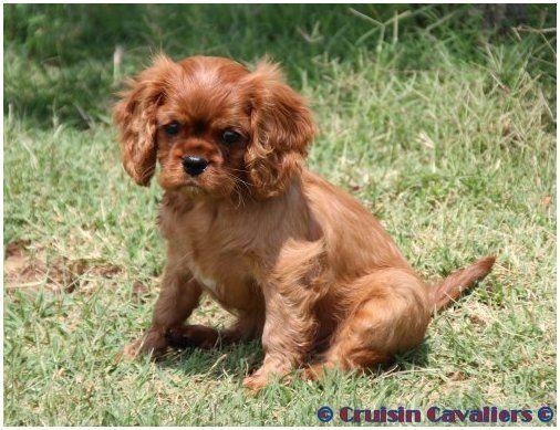 Ruby Cavalier King Charles Spaniel Welpe Cavalier Charles King Ruby Spaniel Welpe Cavalier King Charles King Charles Cavalier Spaniel Puppy King Charles